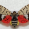 What Do I Do If I See a Spotted Lanternfly?